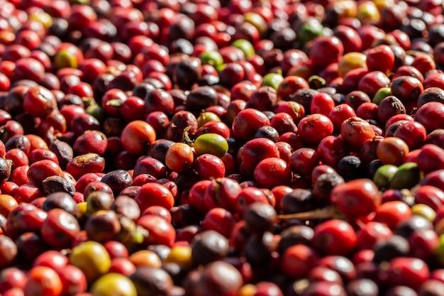 Frische arabica-kaffeekirschen. bio-kaffeefarm Premium Fotos