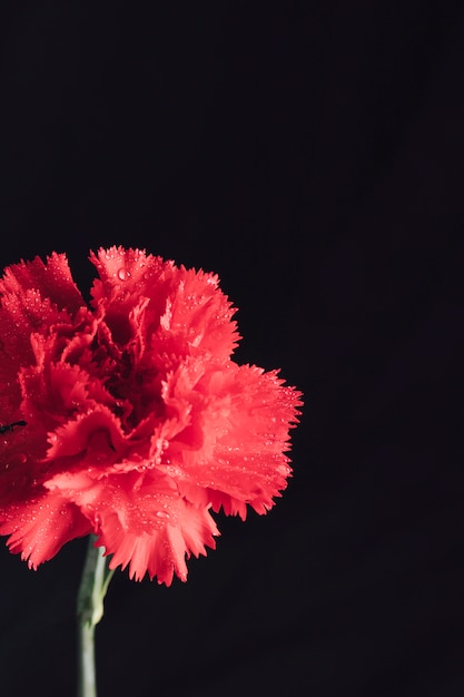 Frische aromatische rote blume im tau Kostenlose Fotos