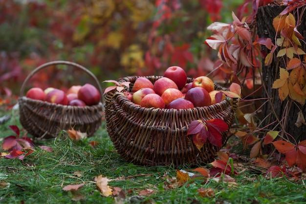 Frische ernte von äpfeln. herbst gartenarbeit. Premium Fotos