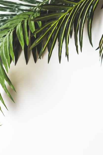 Frische grünblätter auf weißem hintergrund Kostenlose Fotos
