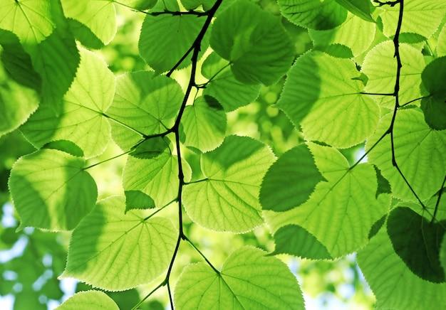 Frische grüne blätter, die im sonnenlicht glühen Premium Fotos