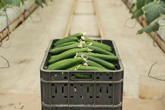 Frische gurke aus gewächshauspflanzen. Kostenlose Fotos