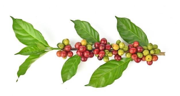 Frische kaffeebohnen getrennt auf weißem hintergrund Premium Fotos
