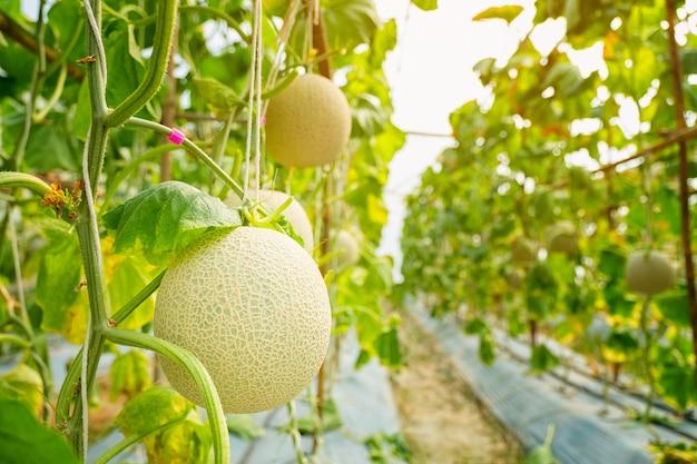Frische melone oder cantaloup-melone, die im gewächshaushof wächst, der einen süßen geschmack hat. Premium Fotos