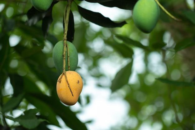Frische rohe und reife mango auf baum, sommerfrucht auf baum Premium Fotos