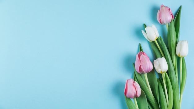 Frische rosa und weiße tulpen über blauem glattem hintergrund Kostenlose Fotos