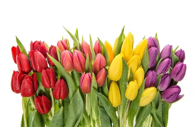 Frische tulpen auf weißem hintergrund. frühlingsblumen Premium Fotos