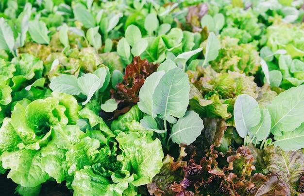 Frisches gemüsesalatblatt im garten. lebensmittel bio-gemüsegarten Premium Fotos
