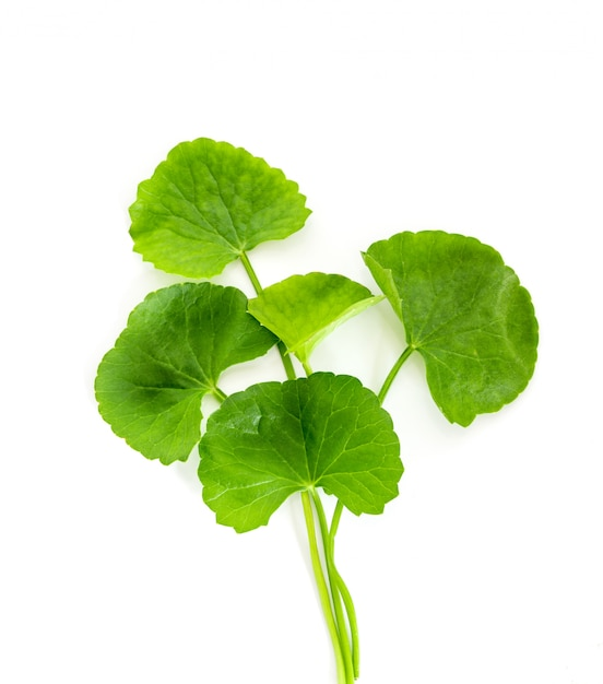 Frisches grünes gotu-kolabaum, centella asiatica-blatt, asiatischer pennywort, indischer pennywort, ein ayurvedisches medizinisches kraut Premium Fotos