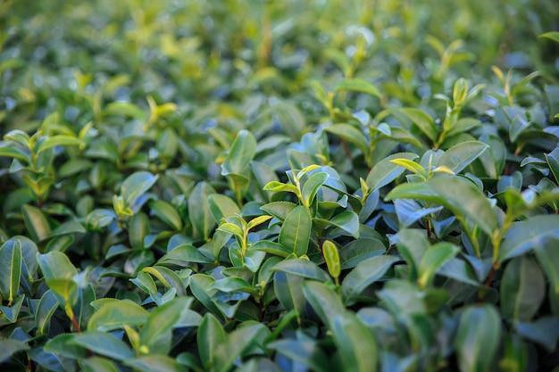 Frisches grünes teefeld der nahaufnahme und ansicht von szenischen jungen oberen frischen hellgrünen teeblättern Premium Fotos