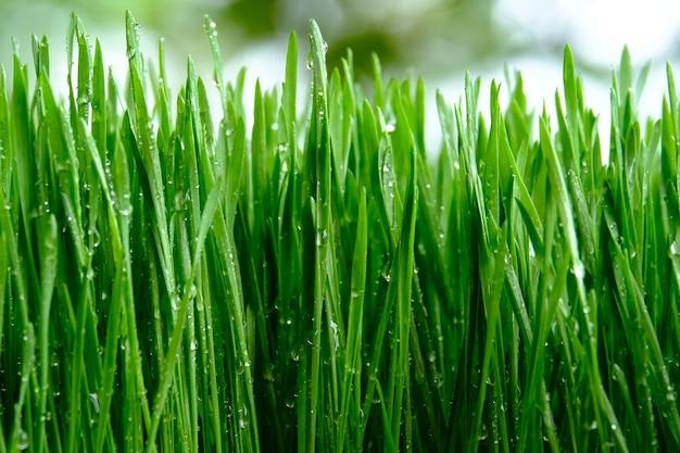 Frisches grünes weizengras mit tropfen tau Premium Fotos