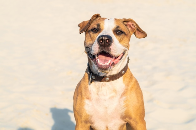 Fröhlicher freundlicher hund sitzt im sand im freien. netter staffordshire terrier-welpe im sandstrand oder in der wüste am heißen sommertag Premium Fotos