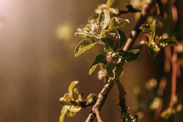 Frühling blüht nicht apple blüht in der sonne Premium Fotos