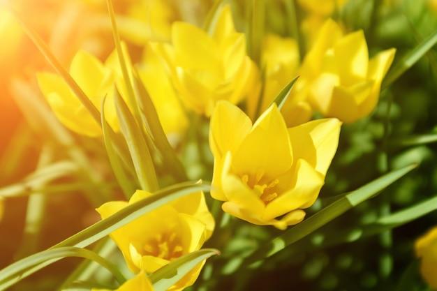 Frühling ostern mit schönen gelben tulpen. sommer blumen hintergrund Premium Fotos