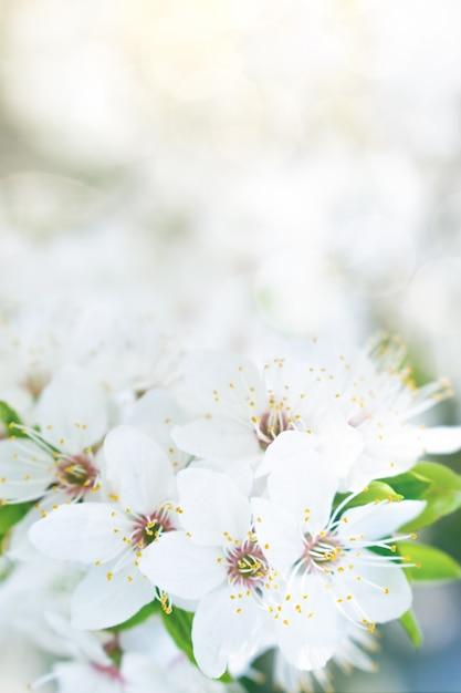 Frühling weiße blume Premium Fotos