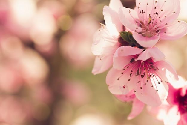 Frühlingsbaum mit rosa blumen Premium Fotos
