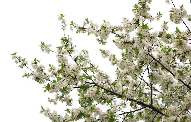 Frühlingsblühende zweige, rosa blüten, keine blätter, blüten mandel Premium Fotos