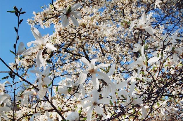 Frühlingsblumen. schön blühender baumast. magnolien-baum-blüte, frühlings-jahreszeit. Premium Fotos