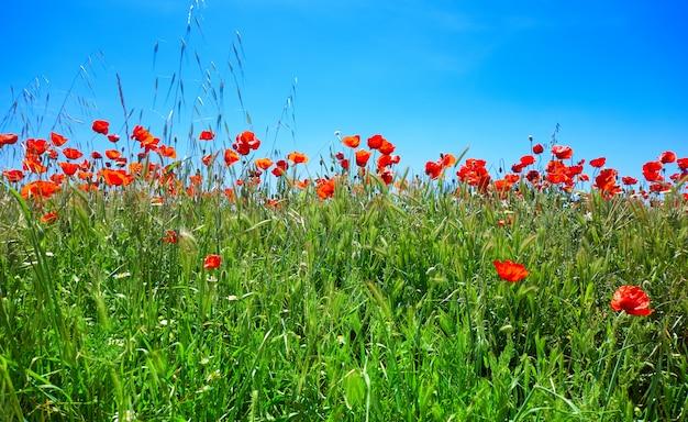 Frühlingswiesenmohnblumen camino de santiago Premium Fotos