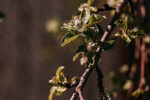 Frühlingszweig, junge blätter und nieren Premium Fotos