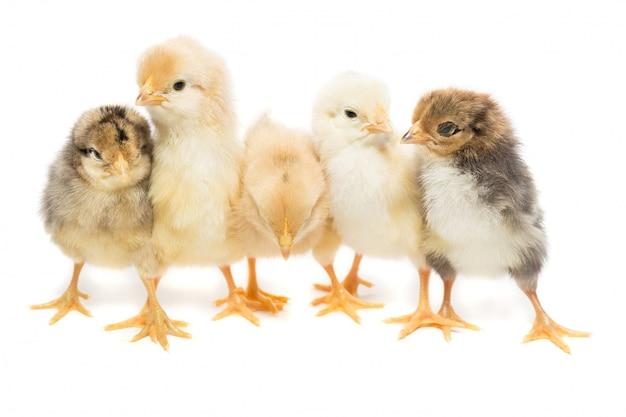 Fünf hühner auf weiß Premium Fotos