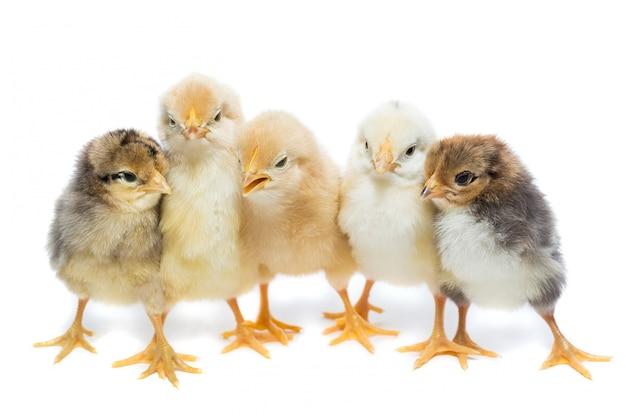 Fünf hühner auf weißem hintergrund Premium Fotos