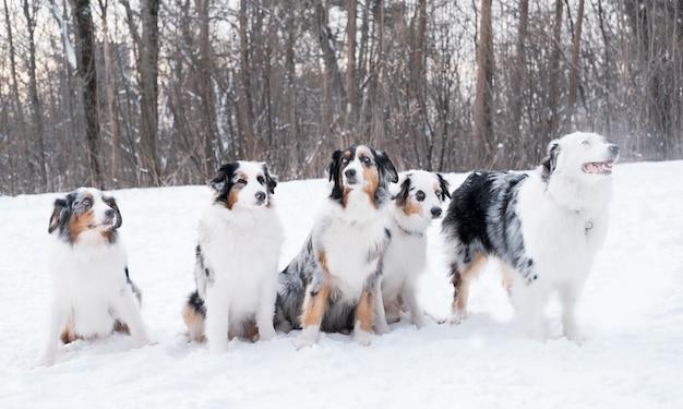 Fünf junge schöne australische schäferhund merle sitzen im winterwald. gefrorene pflanzen. goldene stunde. hochwertiges foto Premium Fotos