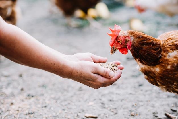 Fütterungskörner der hand zum huhn im bauernhof Kostenlose Fotos