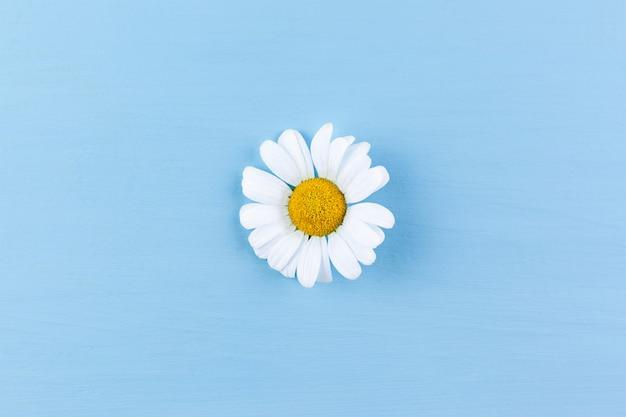 Gänseblümchen auf blauer oberfläche. minimales konzept des frühlings Premium Fotos
