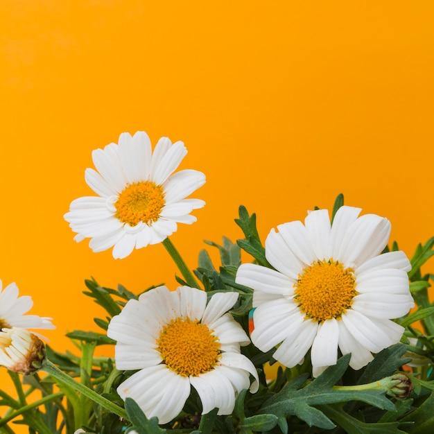 Gänseblümchen-gruppe Kostenlose Fotos