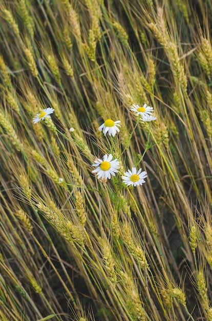 Gänseblümchen im weizenfeld im sommer Premium Fotos