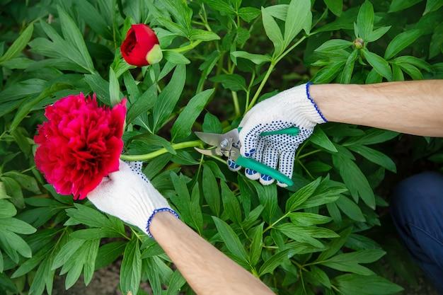 Gärtner, der blumen garten beschneidet. tiefenschärfe. natur. Premium Fotos