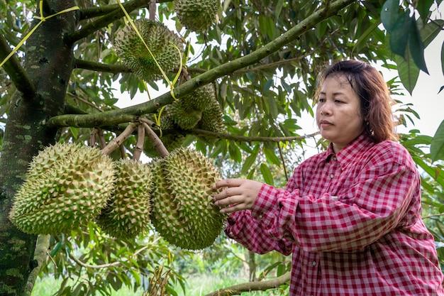 Gärtner überprüfen den durian auf dem durianbaum, der zum verkauf bereit ist. Premium Fotos