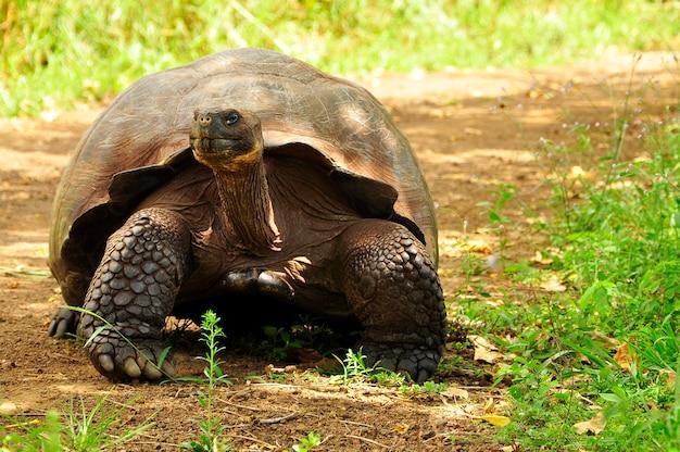 Galapagos-schildkröte Premium Fotos