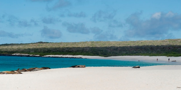 Galapagos-seelöwe (zalophus-californianus wollebacki) aalend auf dem strand, gardner-bucht, espanola-insel, galapagos-inseln, ecuador Premium Fotos