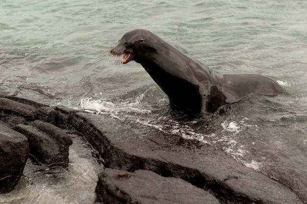 Galapagos-seelöwe (zalophus-californianus wollebacki) auf der küste, punta espinoza, fernandina-insel, ecuador Premium Fotos