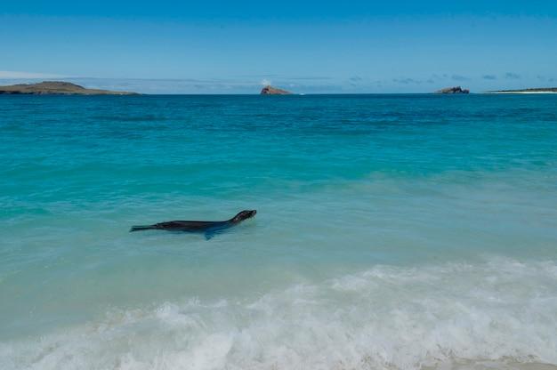 Galapagos-seelöwe (zalophus-californianus-wollebacki) schwimmen im ozean, gardner-bucht, espanola-insel, galapagos-inseln, ecuador Premium Fotos