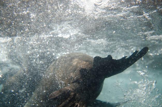 Galapagos-seelöwe (zalophus-californianus-wollebacki) schwimmend unter wasser, darwin-bucht, genovesa-insel, galapagos-inseln, ecuador Premium Fotos