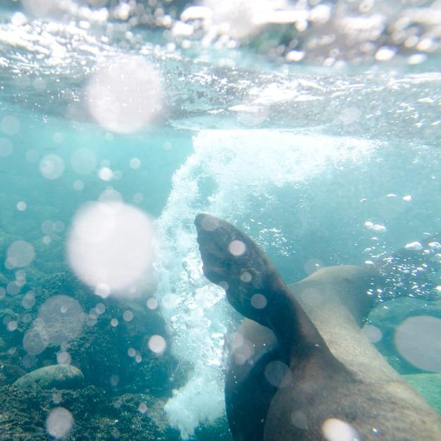 Galapagos-seelöwe (zalophus-californianus-wollebacki) unter wasser schwimmend, insel san cristobal, galapagos-inseln, ecuador Premium Fotos