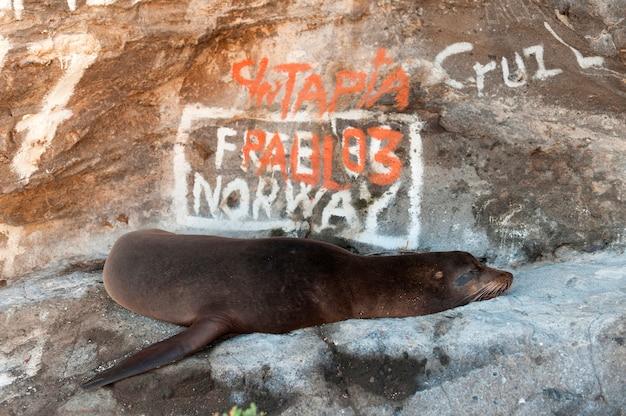 Galapagos-seelöwe (zalophus-californianus-wollebacki) vor graffiti bedeckte felsen, tagus-bucht, isabela-insel, galapagos-inseln, ecuador Premium Fotos