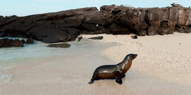 Galapagos-seelöwe (zalophus-californianus wolllebacki), genovesa-insel, galapagos-inseln, ecuador Premium Fotos