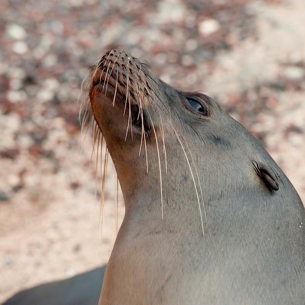 Galapagos-seelöwe (zalophus-californianus wolllebacki), san cristobal-insel, galapagos-inseln, ecuador Premium Fotos