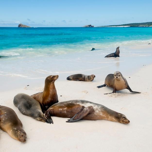 Galapagos-seelöwen (zalophus californianus wollebacki), gardner-bucht, espanola-insel, galapagos-inseln, ecuador Premium Fotos