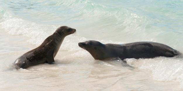 Galapagos-seelöwen (zalophus-californianus-wollebacki) im ozean, gardner-bucht, espanola-insel, galapagos-inseln, ecuador Premium Fotos