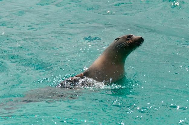 Galapagos-seelöwen (zalophus-californianus wollebacki), insel san cristobal, galapagos-inseln, ecuador Premium Fotos