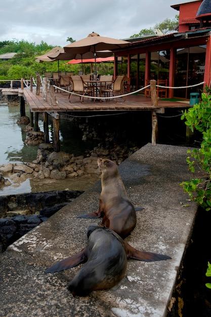 Galapagos-seelöwen (zalophus-californianus wolllebacki), santa cruz-insel, galapagos-inseln, ecuador Premium Fotos