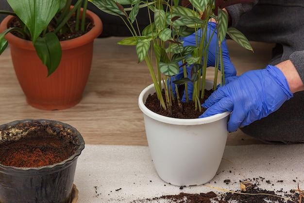 Gartenarbeit zu hause. ein mann transplantiert ctenanthe in seinen hausgarten. topfgrünpflanzen zu hause, hauptdschungel, gartenzimmer, landschaftsgestaltung, pflanzenraum, blumendekor. Premium Fotos