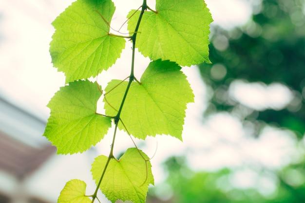 Gartennaturökologie der weinrebe grüne. grüne blattbeschaffenheit des hohen details der nahaufnahme mit chlorophyll und prozess der photosynthese in der anlage. Premium Fotos
