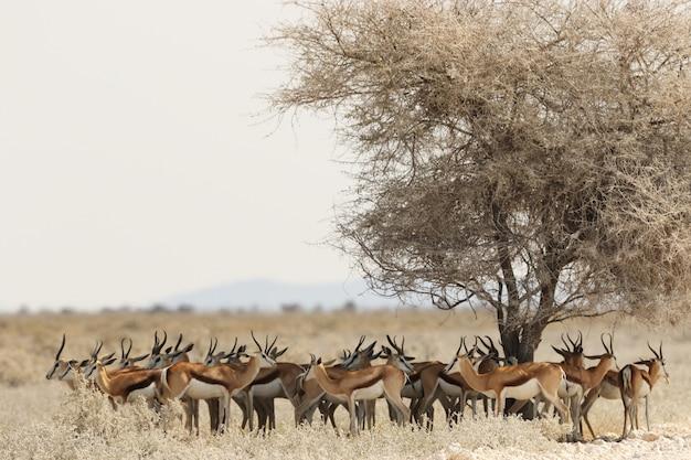 Gazellenherde, die unter einem getrockneten baum in einer savannenlandschaft ruht Kostenlose Fotos