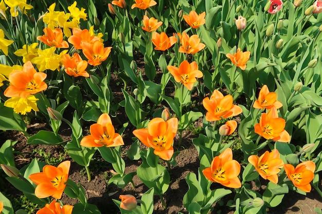 Geblühte orange tulpen blüht auf dem blumenbeet unter anderen tulpenknospen Premium Fotos